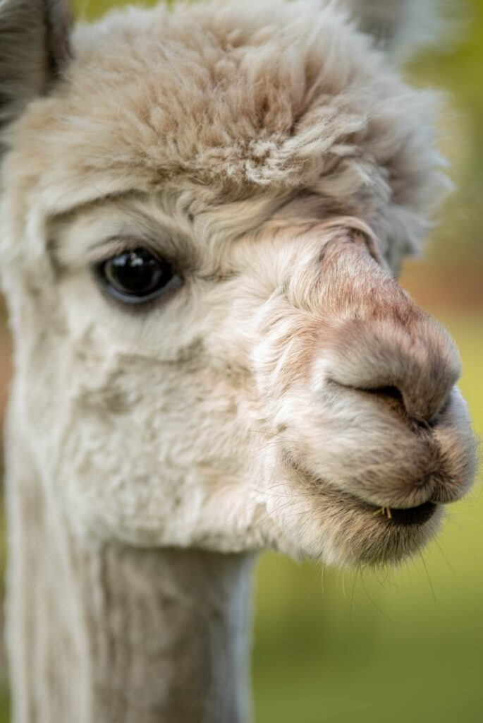 white llama in close up photography